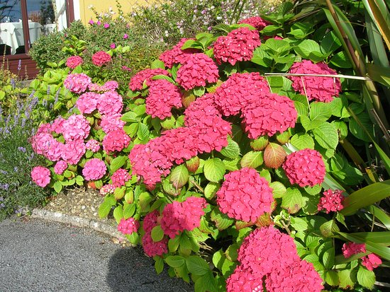 Ballinalacken Castle Country House: Beautiful pink hydrangeas