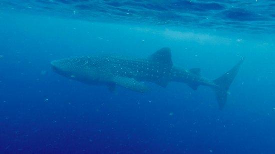 Utila, Honduras: Whale Shark