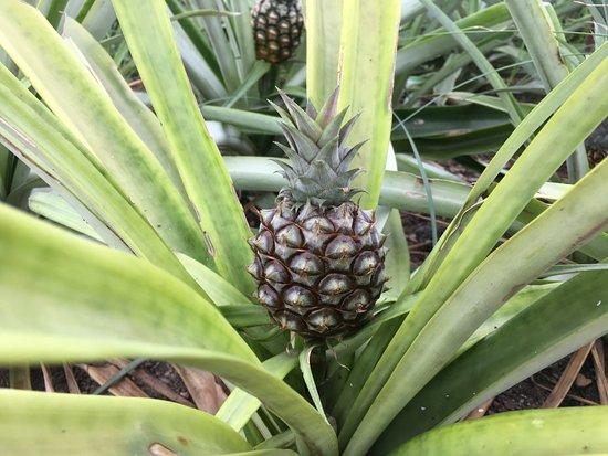 Ananas Santo Antonio