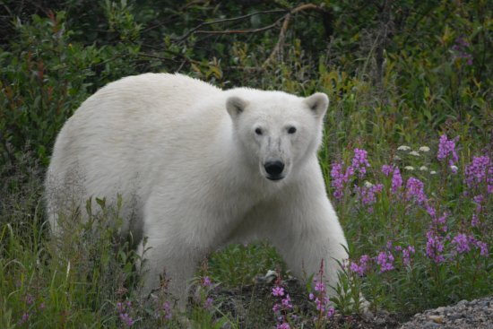 Seal River, Canada : Polar bears come right up to the lodge to visit