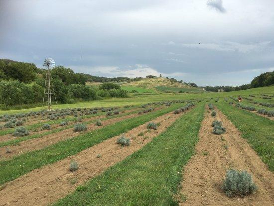 Missouri Valley, IA: Modest lavender farm in Iowa