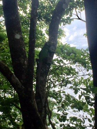 Secret Bay: Friendly iguana