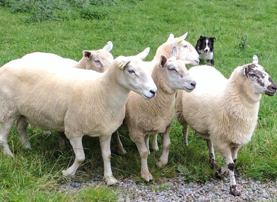 Irish Working Sheepdogs: Jim the sheep dog working.