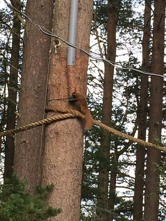 Aviemore, UK: Red squirrel at the Osprey Centre, one mile each way off the Speyside Way or by bus from Aviemor
