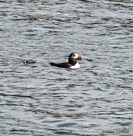 Big Bras d'Or, Canadá: Many puffins on the water