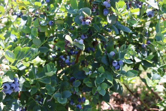 Goleta, CA: Blueberry bush