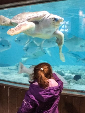 The Maritime Aquarium: A sea turtle swims among the fish overhead