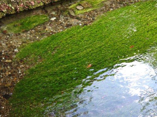 8月末ではまだ梅花藻が楽しめま...