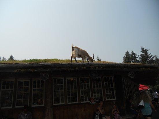 Old Country Market : capra sul tetto