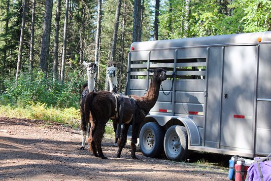Swan Lake, MT: Unloading the llamas