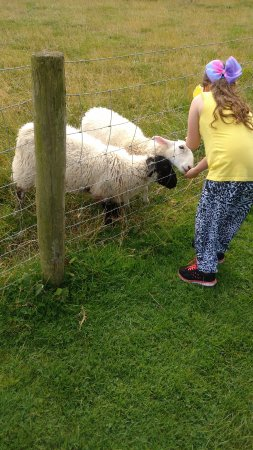 The Gincase Farm Park: Daughter feeding the Lambs