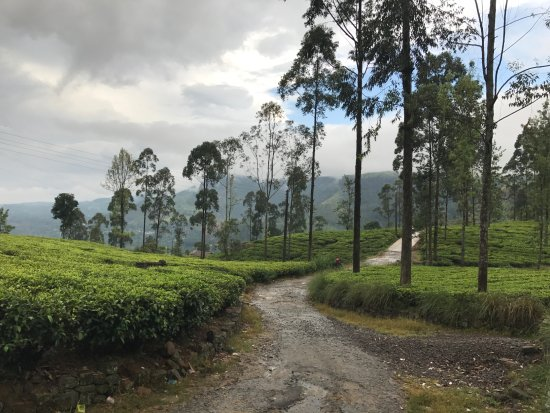 Bluefield Tea Gardens: View of the tea plantations behind the factory building