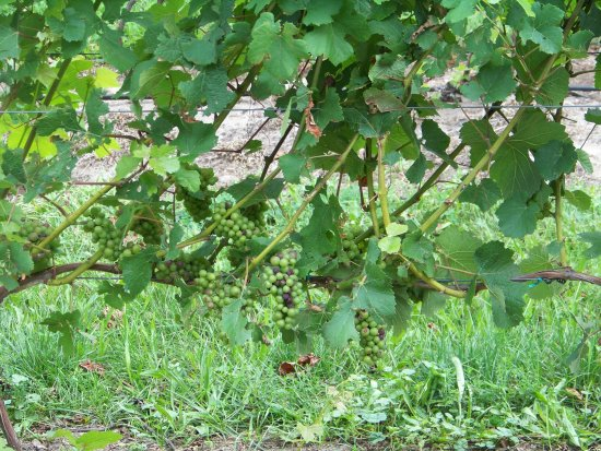 Hearth & Vine Cafe at Black Star Farms: Grapes on the vine.