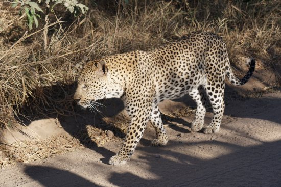 Leopard found just outside Sabi Sabi Bush Lodge - same one visiting the lodge daily
