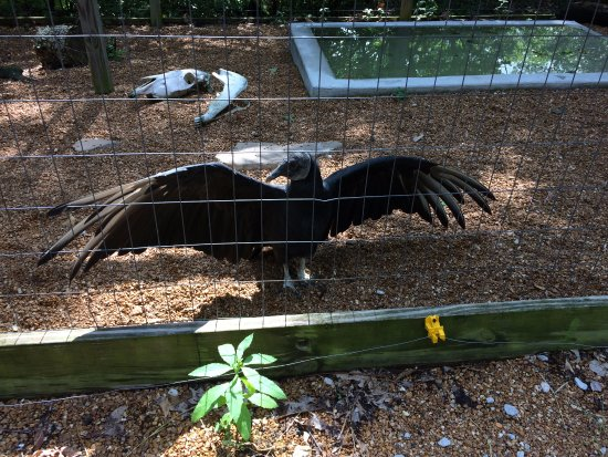 Valley Park, MO: Black vulture