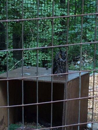 World Bird Sanctuary: Long-eared owl