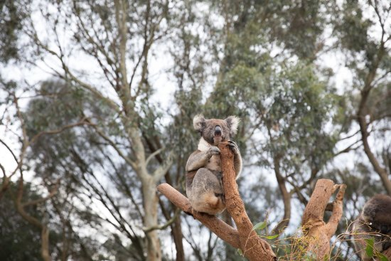 Seddon, Αυστραλία: Koala