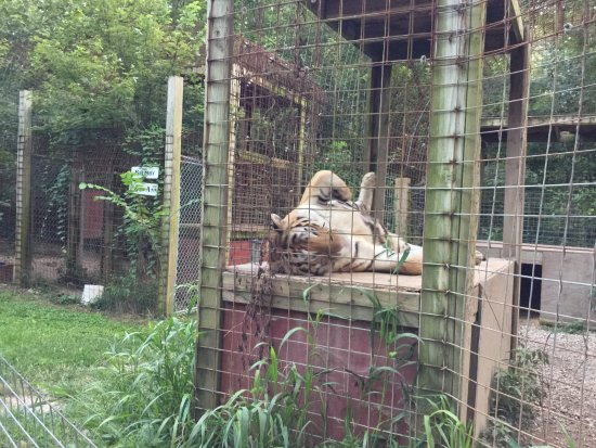 Exotic Feline Rescue Center: Rajahn the tiger is a show off.