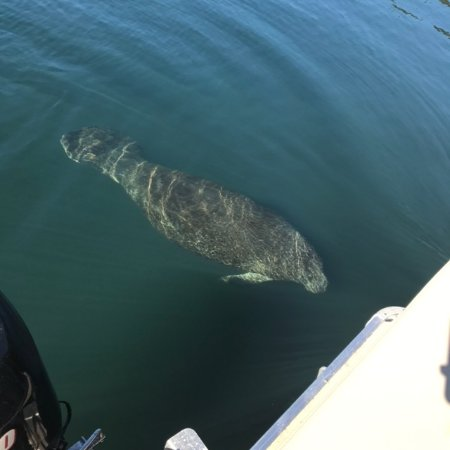 Homosassa, FL: the manatee swim right up to the boat to play