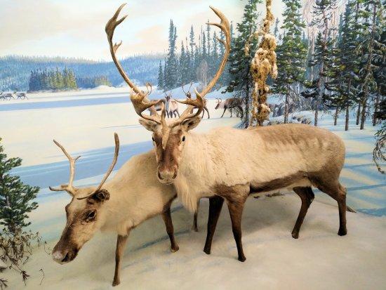 Royal Saskatchewan Museum: Caribou diorama.