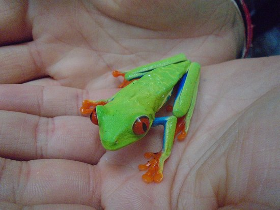 Chachagua, คอสตาริกา: Red-eyed tree-frog on my daughter's hand