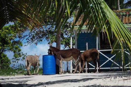 Bayahibe, République dominicaine : Anes en liberté. Isla Saona.