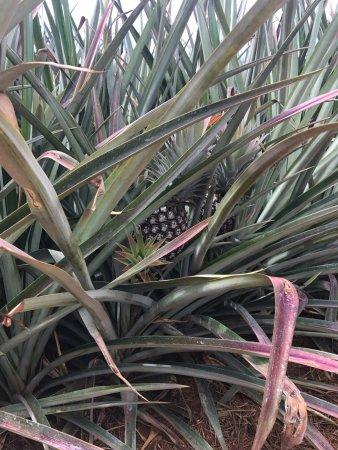 Kilauea, Hawái: Pineapple in the field