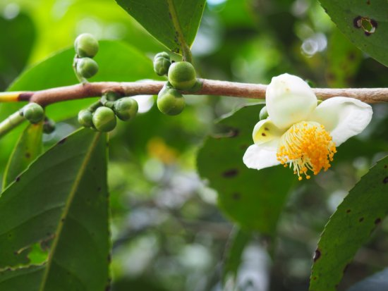 Niyagama House: Tea flower in plantation