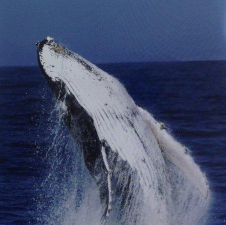 Spirit of Gold Coast Whale Watching : photo9.jpg