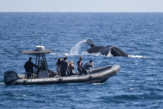 Newport Beach, Kalifornien: Here's a mom and baby humpback whale right next to our Zodiac! Photo by Dale Frink