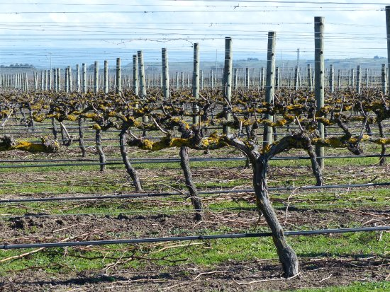 Sileni Estates : Sileni vines in winter