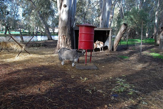 Warracknabeal, Australia: Goats at the Fauna Park