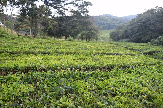 Nyanga, Zimbabwe: The tea plantation...