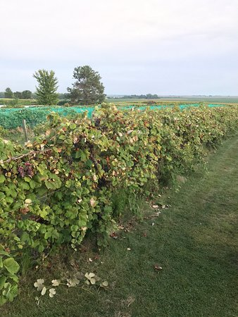 Mackinaw, IL: wineyard