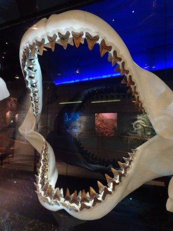 Gainesville, FL: Amazing Megalodon teeth/jaws exhibit !