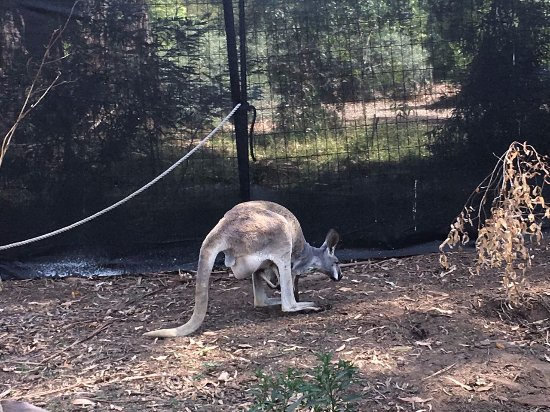 Healesville, Australia: Kangaroo with baby in pocket