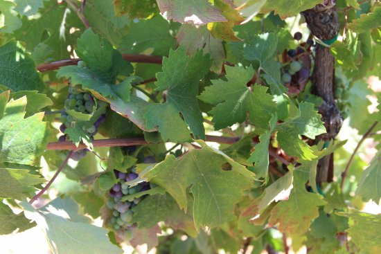 Cloverdale, CA: The original grapes on the property