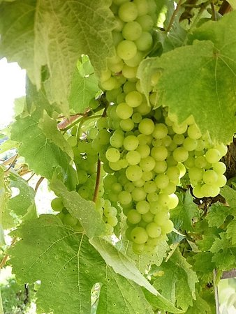 Three Choirs Vineyard : Vines laden with grapes