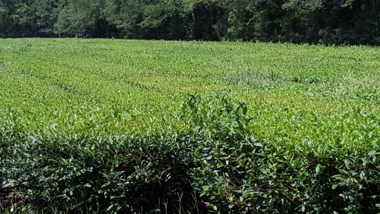 Wadmalaw Island, SC: Tea field