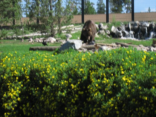 Grizzly and Wolf Discovery Center: Big Ben