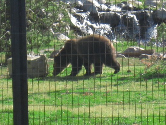 Grizzly and Wolf Discovery Center: He's a big one