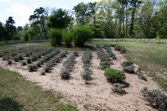 Cape Cod Lavender Farm: Rows of lavender plants, sadly not blooming right now