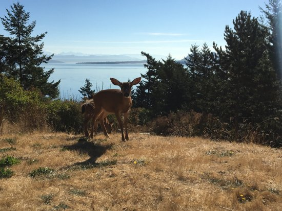 Orcas Island Bayside Cottages: Oh Deer!