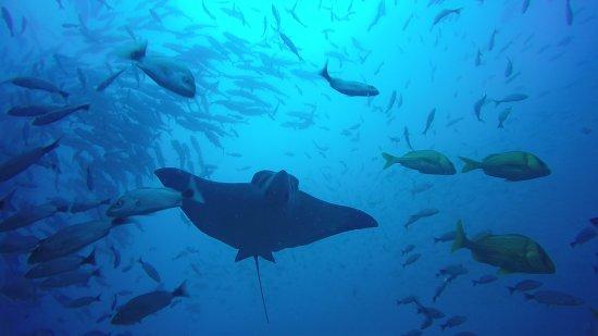 Playas del Coco, Kostaryka: Black Rock eagle Ray