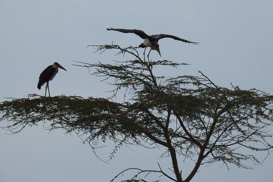 Provincia del valle del Rift, Kenia: Marabou birds in an Acacia tree
