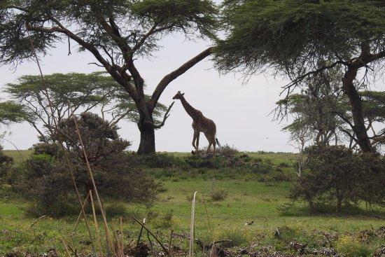 Provincia del valle del Rift, Kenia: First giraffe spotted