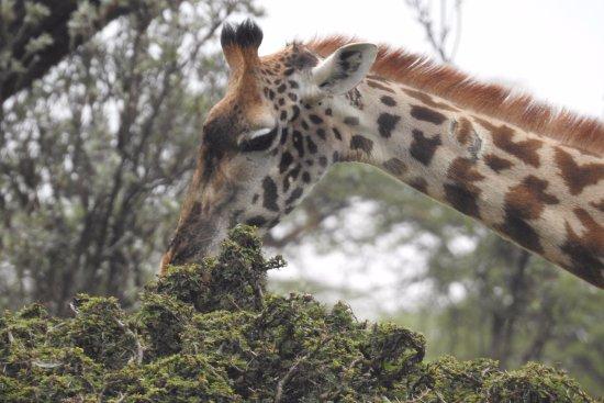 Provincia del valle del Rift, Kenia: Giraffe dinner