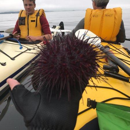 Nanaimo, Canada: live sea urchin