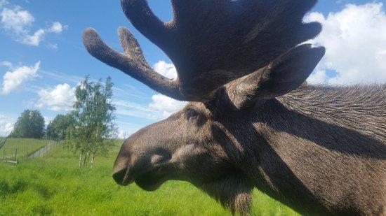 Orrviken, Suecia: Il re della foresta