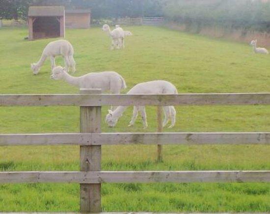 Rainhill, UK: Alpacas